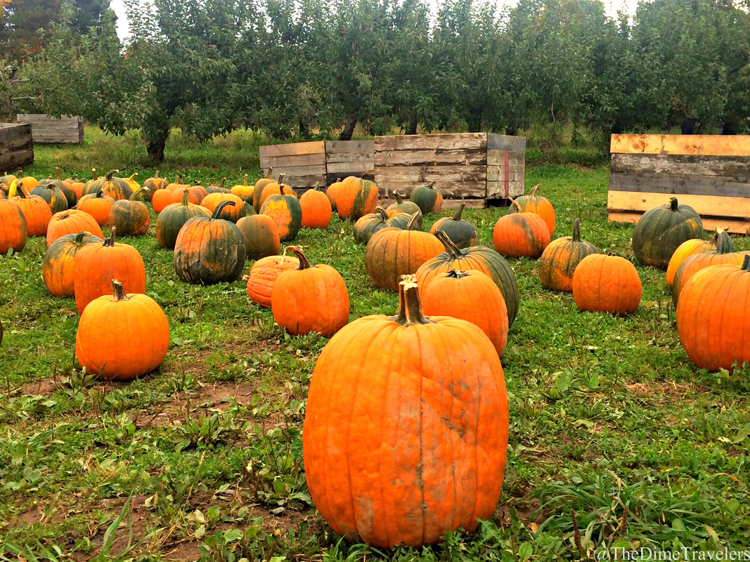 Guide to Halifax things to do in the fall. Pumpkins Field