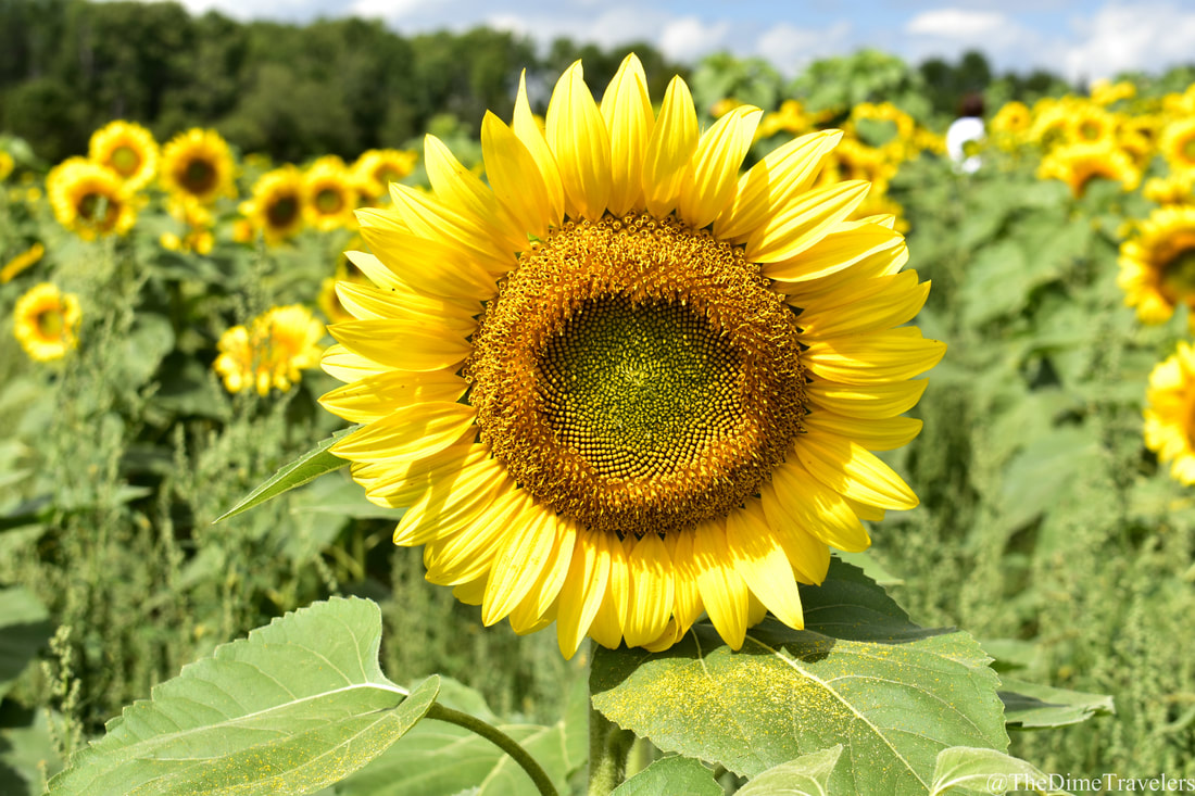 Guide to Halifax things to do in the fall. Sunflower Maze